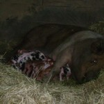 pig and piglets 2008