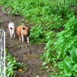 pigs 2009