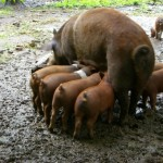 pigs in the mud of june 2009